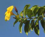 Goldtrompete Kletterstrauch Bluete gelb Allamanda cathartica 01