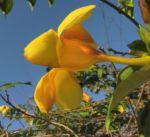 Goldtrompete Kletterstrauch Bluete gelb Allamanda cathartica 05