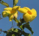 Goldtrompete Kletterstrauch Bluete gelb Allamanda cathartica 08