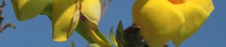 goldtrompete-kletterstrauch-bluete-gelb-allamanda-cathartica