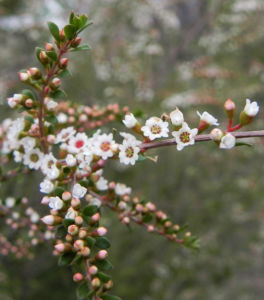 Grampians Thryptomene Bluete weiß rosa Thryptomene calycina 01