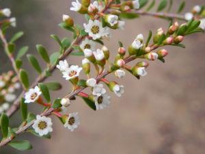 Grampians-Thryptomene Blüte weiß rosa Thryptomene calycina02