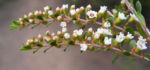 Grampians-Thryptomene Blüte weiß rosa Thryptomene calycina 06