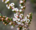 Grampians-Thryptomene Blüte weiß rosa Thryptomene calycina 08