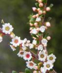 Grampians-Thryptomene Blüte weiß rosa Thryptomene calycina 09