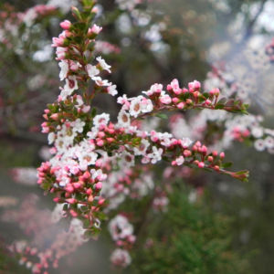 Grampians-Thryptomene Blüte weiß rosa Thryptomene calycina 12