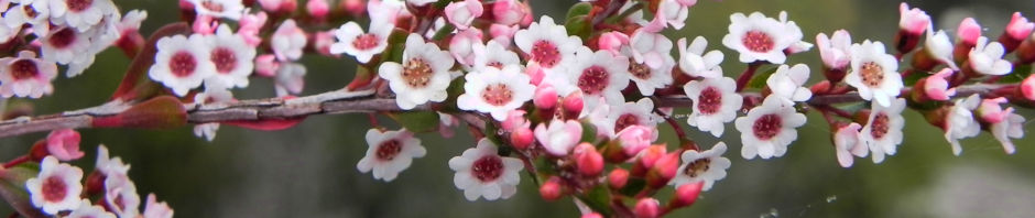 grampians-thryptomene-bluete-weiss-rosa-thryptomene-calycina