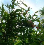 Granatapfel Punica granatum 01