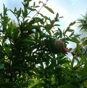 Bild: Granatapfel Punica granatum