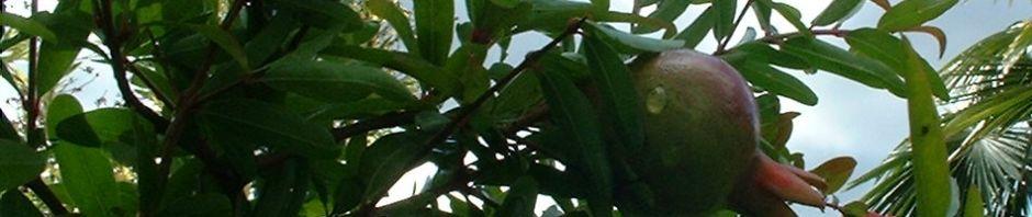 granatapfel-punica-granatum