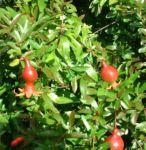 Granatapfel Punica granatum 02
