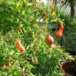 Granatapfel Punica granatum 04