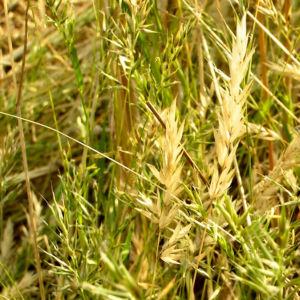 Grannen Ruchgras Anthoxanthum aristatum 06