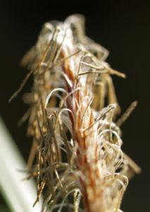 Grasart Carex Bluetendolde hell Carex morrowii 05