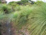Grasbaum Blatt gruen Dolde braun Xanthorrhoea australis 02
