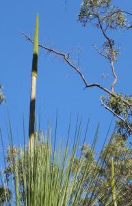 Grasbaum Blatt gruen Dolde braun Xanthorrhoea australis 02 1