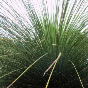 Grasbaum Blatt gruen Dolde braun Xanthorrhoea australis 06