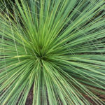 Grasbaum Blatt gruen Dolde braun Xanthorrhoea australis 07