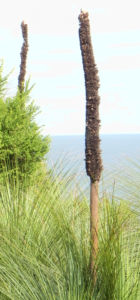 Grasbaum Blatt gruen Dolde braun Xanthorrhoea australis 11