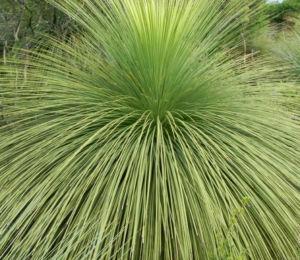 Grasbaum Blatt gruen Dolde braun Xanthorrhoea australis 17