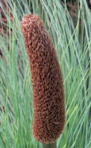Grasbaum Blatt grün Dolde braun Xanthorrhoea australis