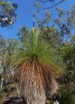 Grasbaum Blatt gruen Stamm braun Xanthorrhoea australis 01