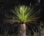 Grasbaum Blatt gruen Stamm braun Xanthorrhoea australis 02