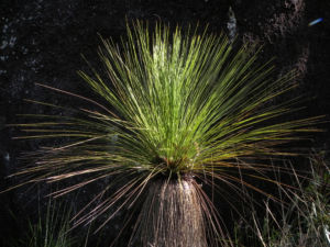 Grasbaum Blatt gruen Stamm braun Xanthorrhoea australis 03