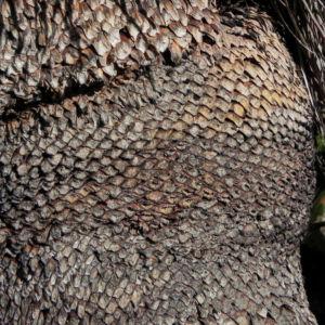 Grasbaum stamm braun Xanthorrhoea australis 05