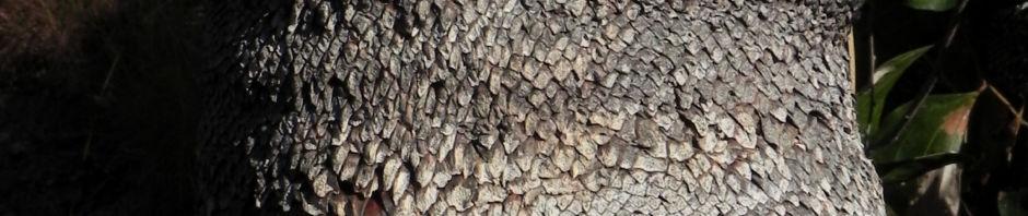 Anklicken um das ganze Bild zu sehen Grasbaum Blatt grün Dolde braun Xanthorrhoea australis