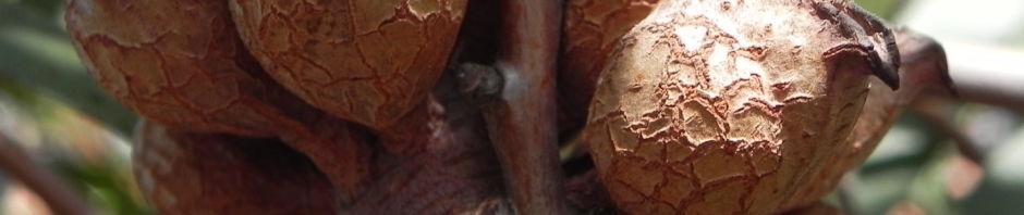 graslaubige-hakea-bluete-pink-weiss-hakea-lineata
