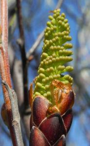 Grass leaf Hakea Knospe gruen Hakea francisiana 03