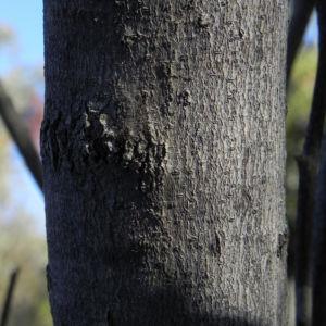 Bild: Grass leaf Hakea Rinde grau Hakea francisiana