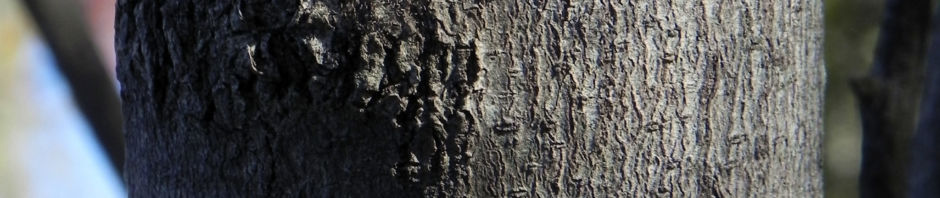 grass-leaf-hakea-knospe-bluete-rinde-frucht-rot-gruen-grau-braun-hakea-francisiana