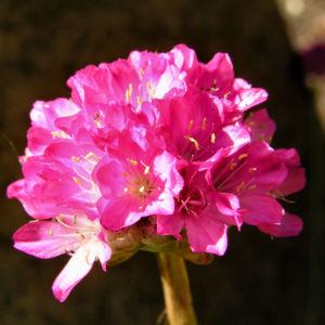 Grassnelke Bluete rose Armeria maritima 01