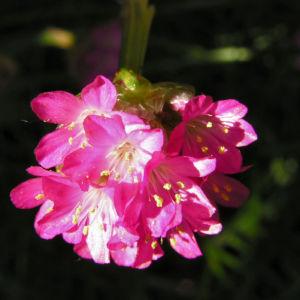 Grassnelke Bluete rose Armeria maritima 04