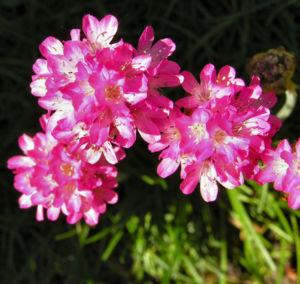 Grassnelke Bluete rose Armeria maritima 06