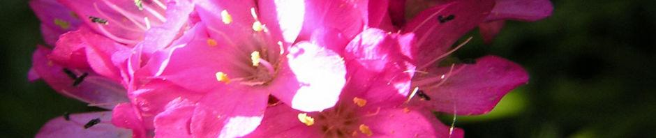 grasnelke-bluete-rose-armeria-maritima