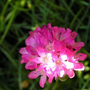 Grassnelke Bluete rose Armeria maritima 08