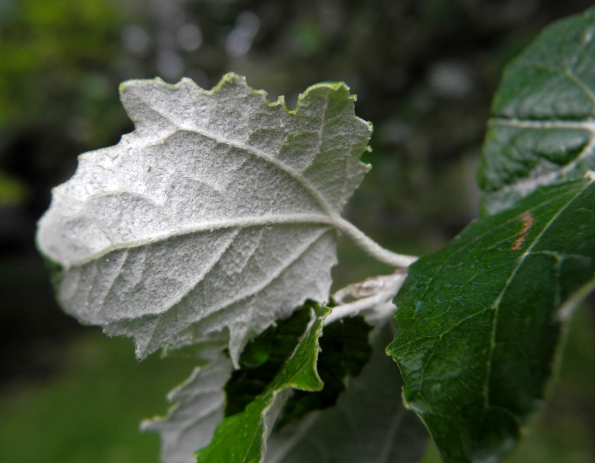 grau Pappel Blatt gruen Populus x cannescens