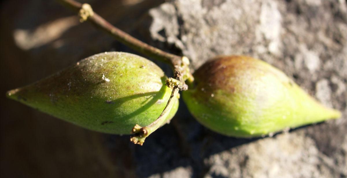 Graue Schwalbenwurz Frucht gruen braun Vincetoxicum canescens