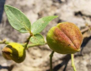 Graue Schwalbenwurz Frucht gruen braun Vincetoxicum canescens 05