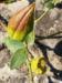 Zurück zum kompletten Bilderset Graue Schwalbenwurz Frucht grün braun Vincetoxicum canescens