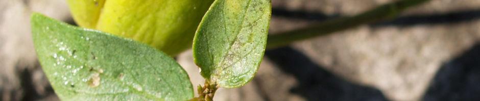 graue-schwalbenwurz-frucht-gruen-braun-vincetoxicum-canescens