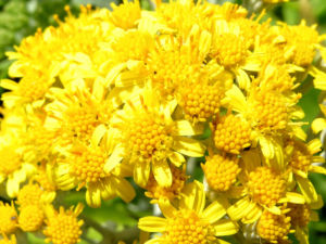 Greiskraut silbrig Bluete gelb Senecio cineraria 03
