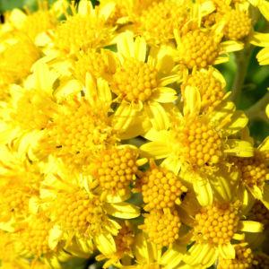 Greiskraut silbrig Bluete gelb Senecio cineraria 05