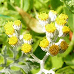 Greiskraut silbrig Bluete gelb Senecio cineraria 09