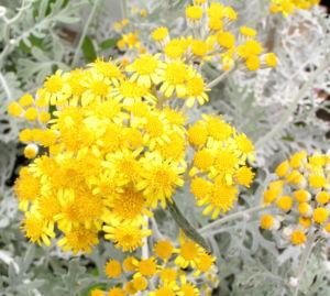 Greiskraut silbrig Bluete gelb Senecio cineraria 11