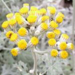 Greiskraut silbrig Bluete gelb Senecio cineraria 12