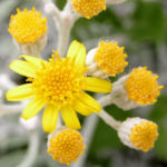 Greiskraut silbrig Bluete gelb Senecio cineraria 15